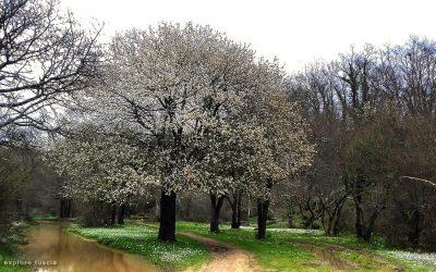 3. Prunus fiorito