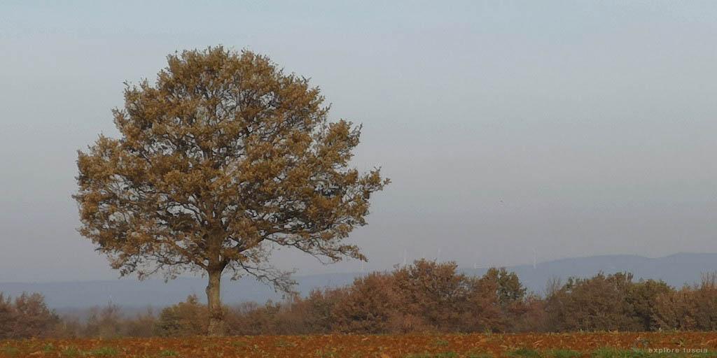 albero-camporile-giovane