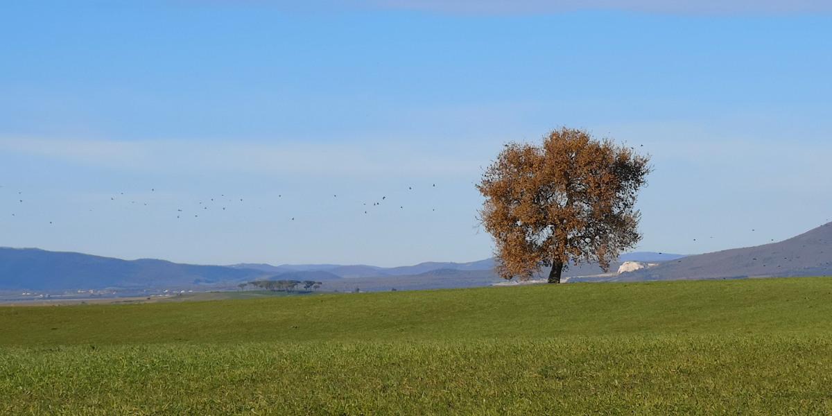 albero camporile Formicone