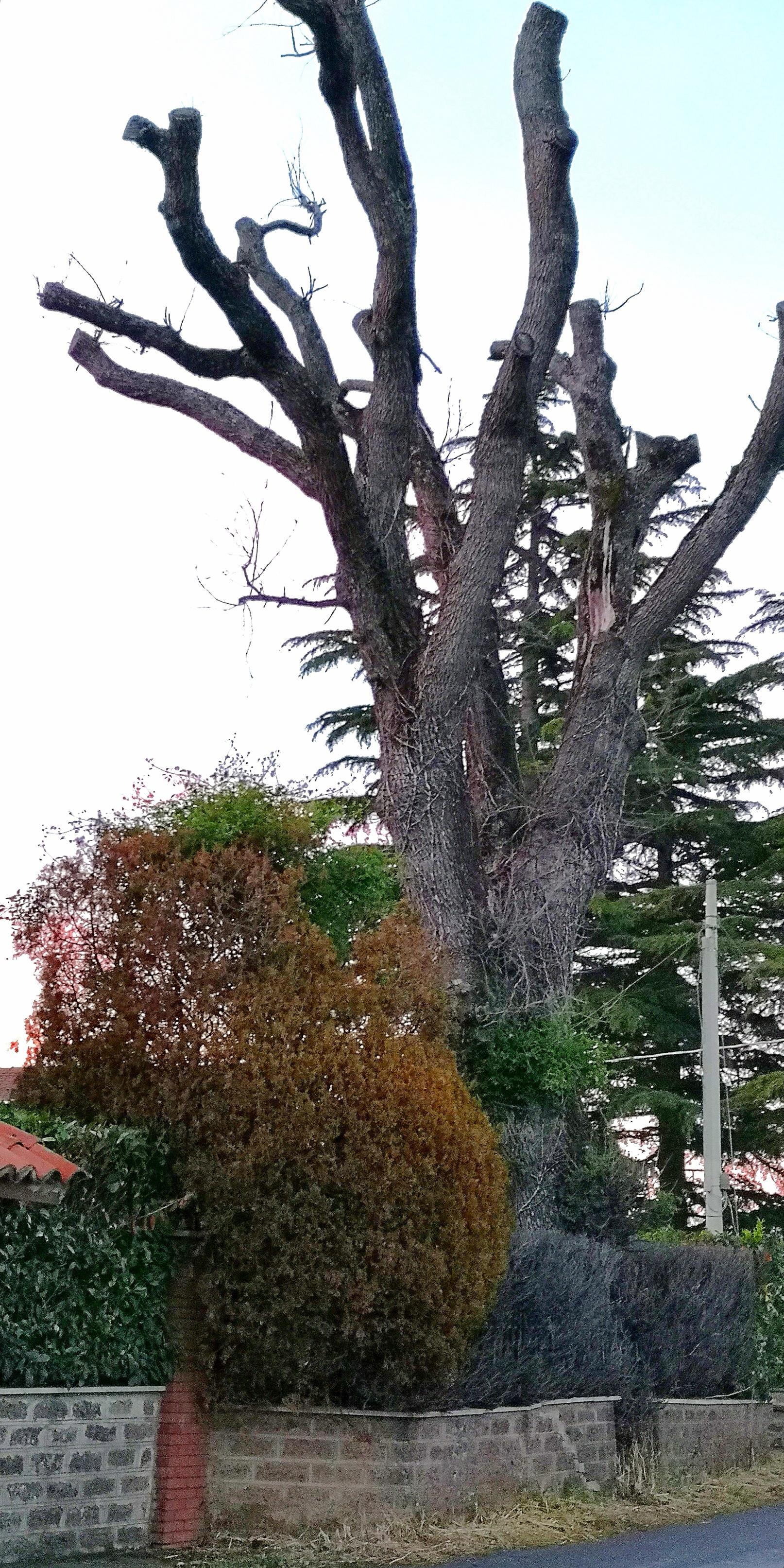 Capitozzature-quercia