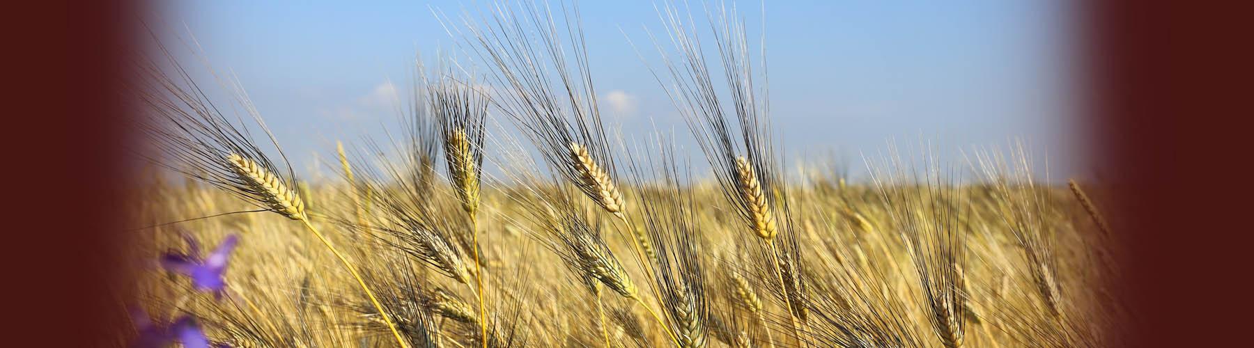 Tuscia: terra di grano