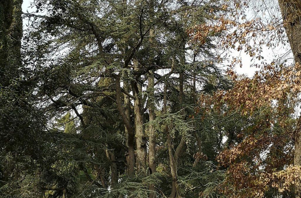 Il Cedro Monumentale di Vetralla!