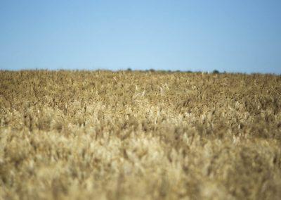 Tuscania-orzo-campo-colore